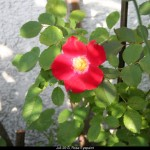 Juli 2013, Rose Eyepaint