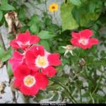 Oktober, Rose Eyepaint